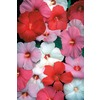  4.25-Gallon Hardy Hibiscus (L2556)