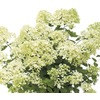 Garden Club Select 3-Gallon White Bombshell Hydrangea (L23398)