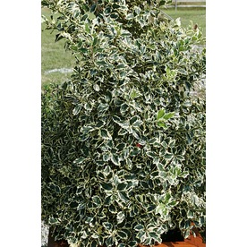 3.25-Gallon Variegated English Holly Foundation/Hedge Shrub (L6174)
