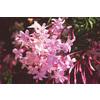 2.5-Quart Pink Jasmine (L3066)