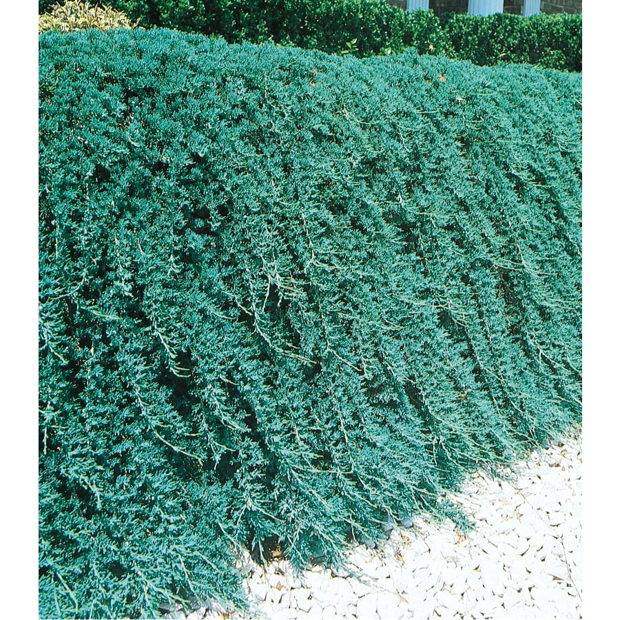 Shop 1.5 Gallon(S) Insignificant Blue Rug Juniper (L3121 ...
