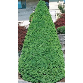  1.5-Gallon Dwarf Alberta Spruce (L8449)