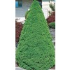 1.5-Gallon Dwarf Alberta Spruce Feature Shrub (L8449)