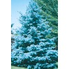  8.75-Gallon Bacheri Blue Spruce (Lw02136)