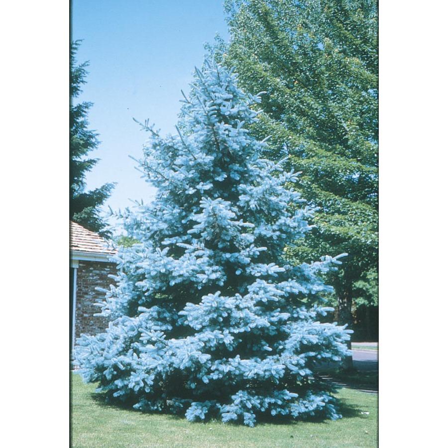 Shop 10 25 Gallon Bacheri Blue Spruce Lw02136 At Lowes Com