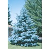 10.25-Gallon Bacheri Blue Spruce Tree (LW02136)