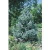 8.75-Gallon Fat Albert Spruce Tree (L4805)