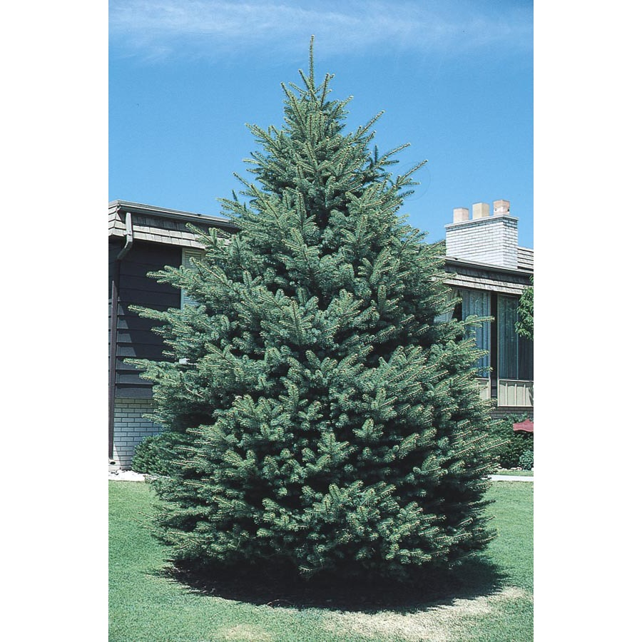 Shop 3 25 Gallon Black Hills Spruce L4531 At Lowes Com
