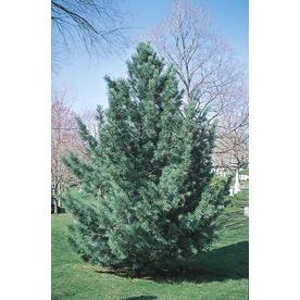 8.75-Gallon Vanderwulfs Pyramid Limber Pine (L6874)