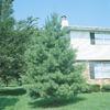 1.5-Gallon Eastern White Pine (L3619)