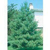 2.25-Gallon Eastern White Pine (L3619)