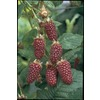 2.5-Quart Thornless Boysenberry Small Fruit (L4598)