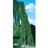 8.75-Gallon Weeping Sequoia (L14274)