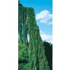 10.25-Gallon Weeping Sequoia (L14274)