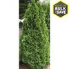 3.25-Quart Emerald Green Arborvitae Screening Shrub (L5480)