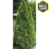 5.5-Quart Emerald Green Arborvitae Screening Shrub (L5480)