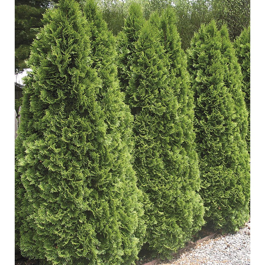 shop 5 9 gallon insignificant emerald green arborvitae