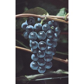 1.5-Gallon Grape Small Plant (L6358)