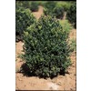 3.25-Gallon Pyramidal English Boxwood Feature Shrub (LW02707)