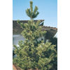3.25-Gallon Japanese Black Pine (L1060)