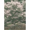  2.5-Quart Tea Tree (L14380)