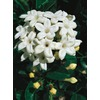 3.25-Gallon Madagascar Jasmine (L5139)