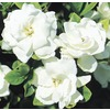 1-Pint White Veitchii Gardenia (L10719)