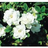  2.5-Quart White Veitchii Gardenia (L10719)