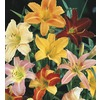  3.25-GAL DAYLILY