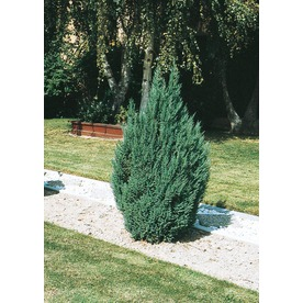 8.75-Gallon Blue Point Juniper Feature Shrub (L3785)