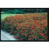 2.5-Quart Hummingbird Bush (L7028)