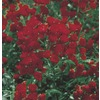 2.5 Quart(S) Red Lady Bank'S Rose (Lw03784)