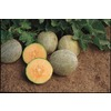 Ferry-Morse Gold Rush Cantaloupe Plant (LW04122)