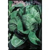 Ferry-Morse Green Towers Romaine Lettuce Plant (LSP0119)