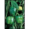 Ferry-Morse California Wonder Bell Pepper Plant (LW03481)