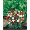 Ferry-Morse 1-Count Carnations (L5774)