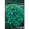 Ferry-Morse Lemon Balm (L6073)