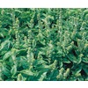 Ferry-Morse Cinnamon Basil (L6086)