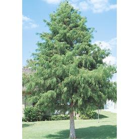 92.99-Gallon Bald Cypress (L3245)