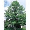 92.99-Gallon Bur Oak (L1102)