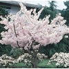 3.74-Gallon Yoshino Flowering Cherry (L3234)
