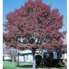 45.28-Gallon Shumard Oak (L1085)