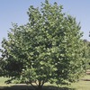 92.99-Gallon Mexican Sycamore (L24202)