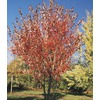 27.17-Gallon Summer Red Maple (L24199)