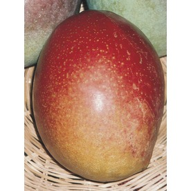 3.74-Gallon Mango Tree (L7606)