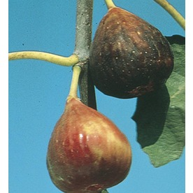 3.74-Gallon Fig Small Fruit (L5982)