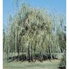 3.74-Gallon Niobe Weeping Willow (L4599)
