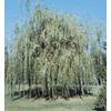 19.59-Gallon Niobe Weeping Willow (L4599)