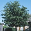 92.99-Gallon Cathedral Live Oak (L24770)