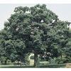 13.35-Gallon Chinquapin Oak (L5853)